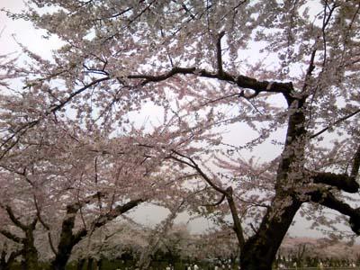 sakura_goryou.jpg